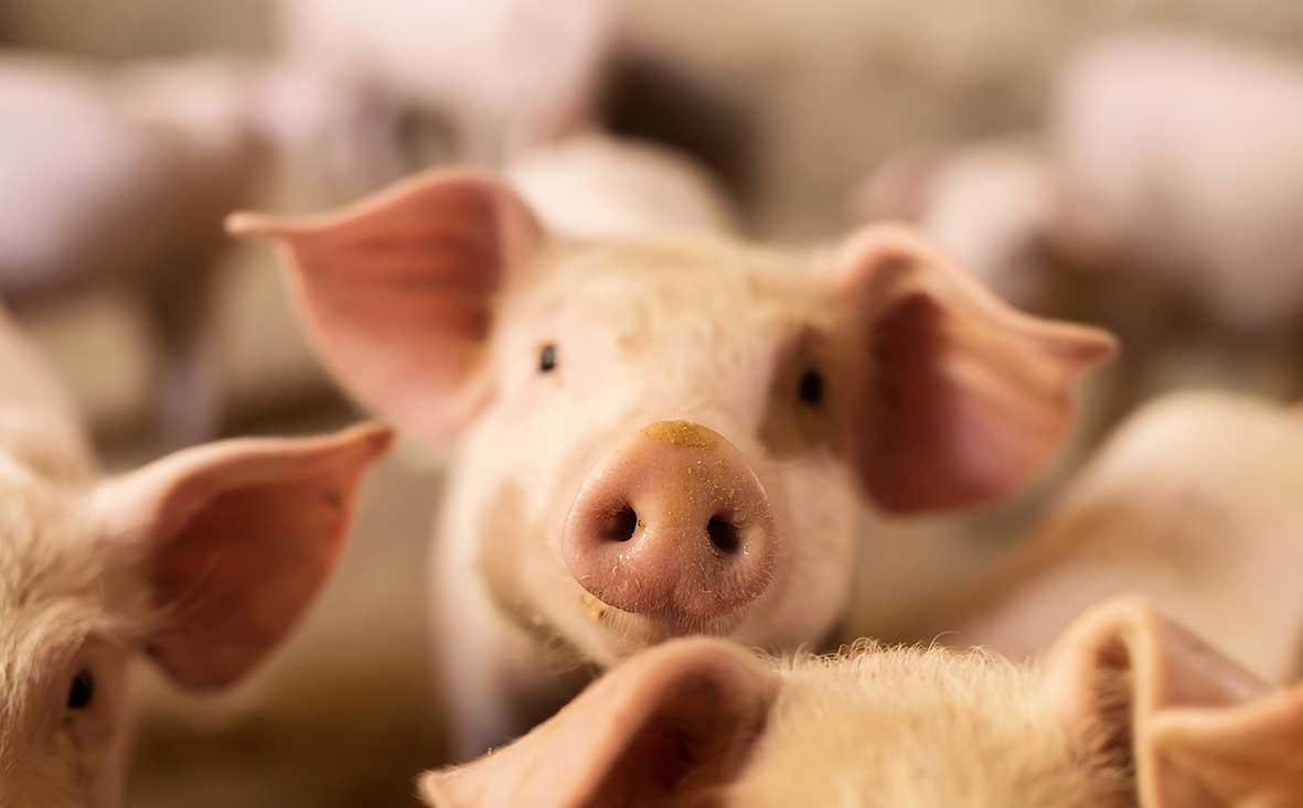 Schweinemastanlage in NRW kaufen